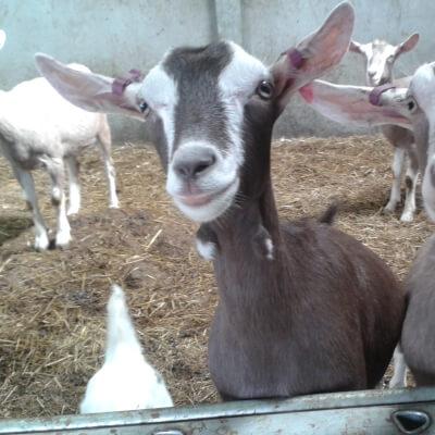 Goat Burgers