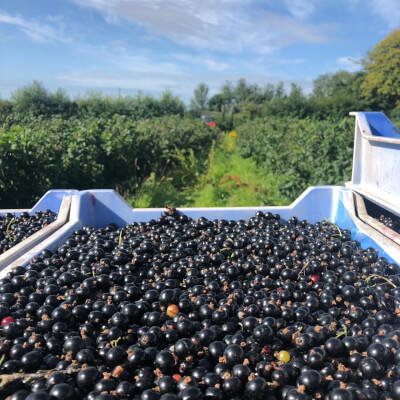 1Kg Home Grown Blackcurrants