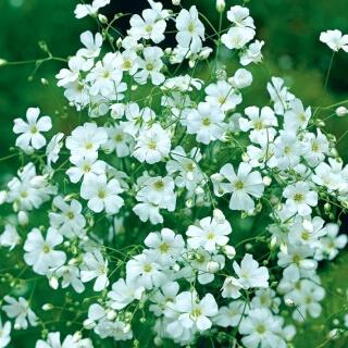 "Gypsophelia - ""Convent Garden"""