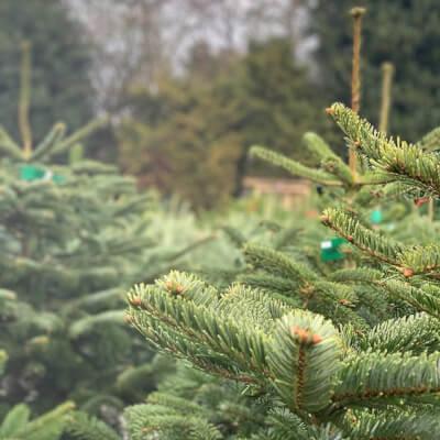Organically Grown Christmas Trees