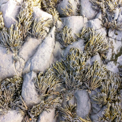 Dried Channelled Wrack Seaweed