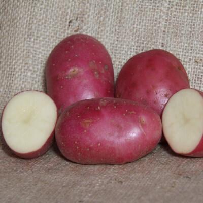 Seed Potatoes Robinta - Organic