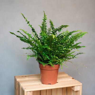 Nephrolepis Exaltata - Boston Fern In Nursery Pot