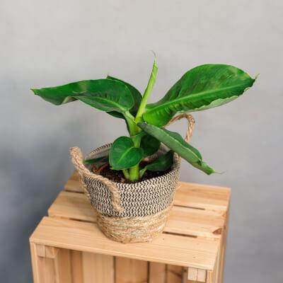 Musa Oriental Dwarf - Banana Plant In Basket
