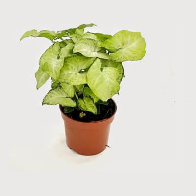 Syngonium Podophyllum - Arrowhead White Butterfly In Nursery Pot