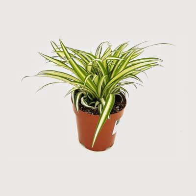 Chlorophytum Comosum - Spider Plant In Nursery Pot 12Cm