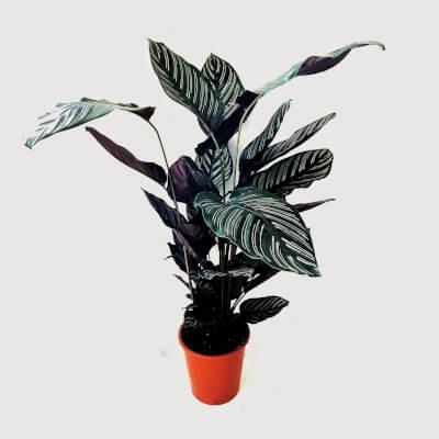 Calathea Ornata - Pin Stripe