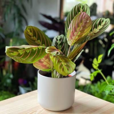 Maranta Fascinator - Prayer Plant + Light Grey Ceramic Pot