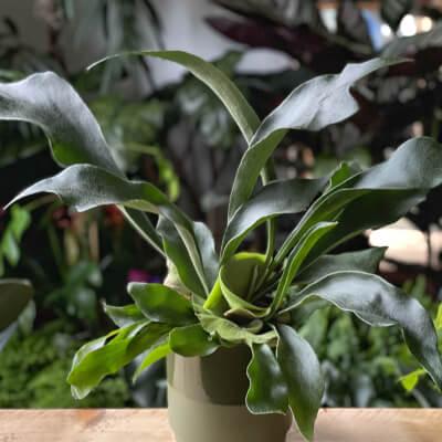 Platycerium Bifurcatum - Staghorn Fern + Olive Ceramic Pot