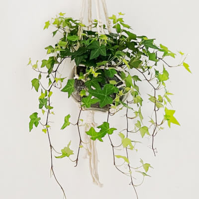 Ivy In Glass Pot With Hanger