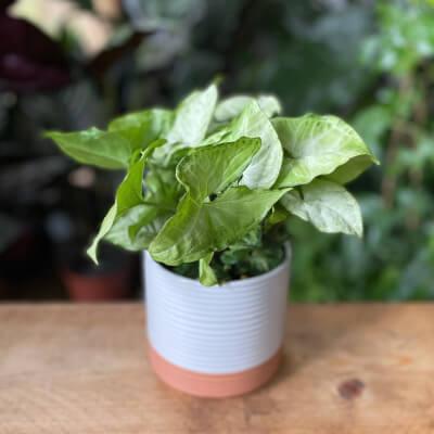 Syngonium Podophyllum - Arrowhead White Butterfly + White Ceramic Pot