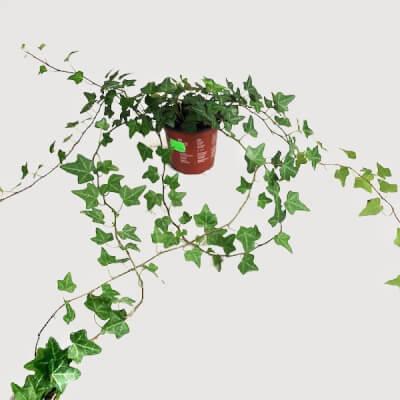 Hedera Helix - Ivy In Nursery Pot 12Cm - Plant 80Cm+