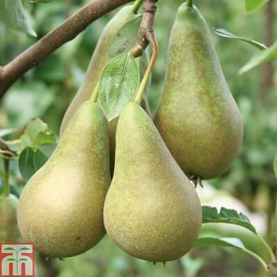 Organic Uk Conference Pears