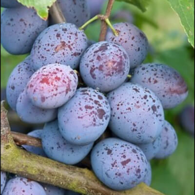Organic Haganta Plums  Grown In The Uk