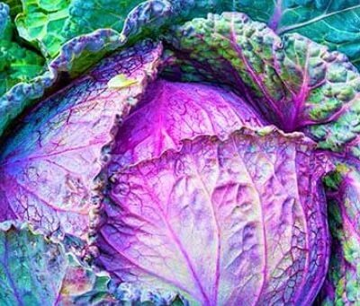 Organic Red Cabbage From Lancashire
