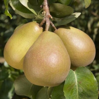 Organic Uk Beurre Hardy Pears