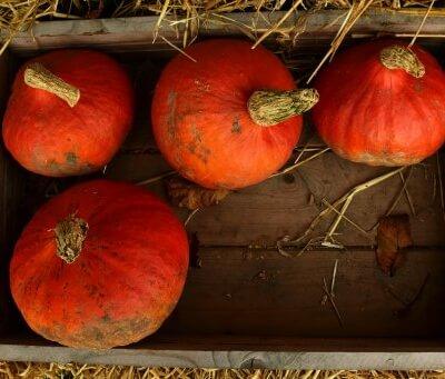Organic Uchiki Kuri Squash Grown In Somerset