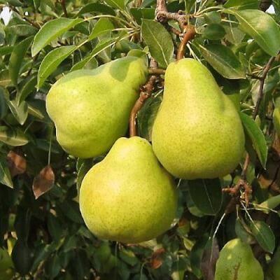 Organic Argentinian Packham Pears