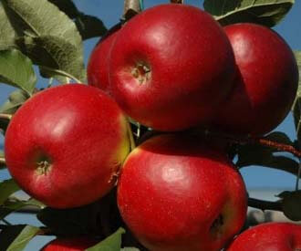 Organic Royal Gala Apples  From Chile