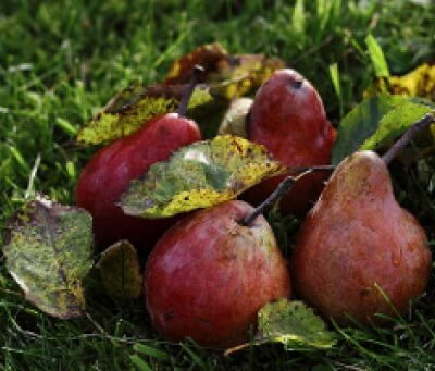 Organic British Conference Pears
