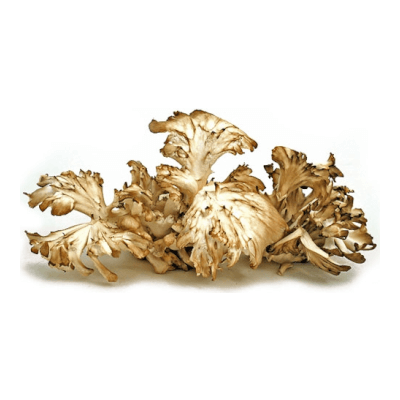 Organic Hen Of The Woods (Maitake) Mushrooms Grown In Somerset
