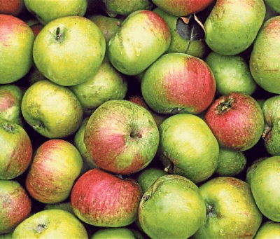 Organic  Cooking  Apples From Plowright Somerset