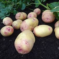 Organic Carolus Potatoes - 500G Or 1Kg
