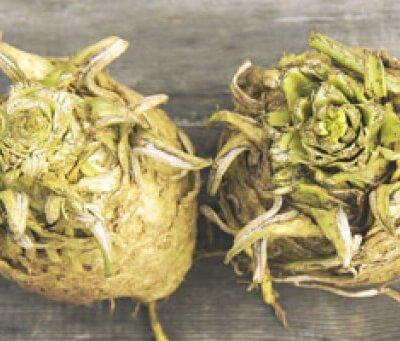 Organic Wiltshire Celeriac