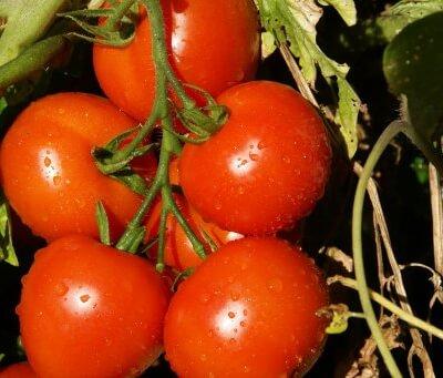 Organic Spanish Vine Tomatoes