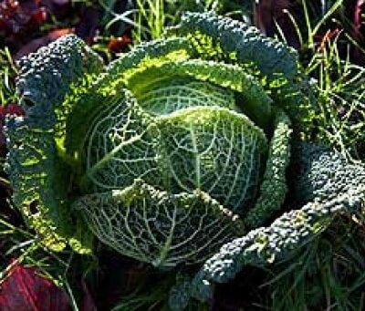 Organic Cabbage Primo / Savoy