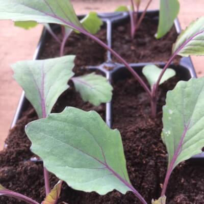 Cabbage Plants 'Cabeza Regra2'