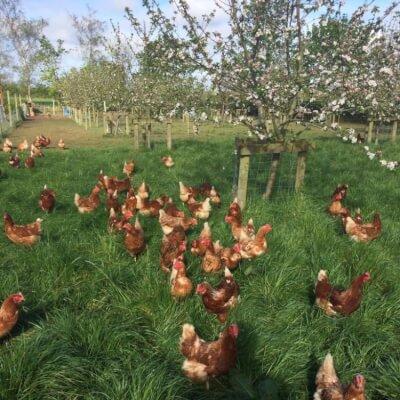 Half Dozen Free Range Eggs