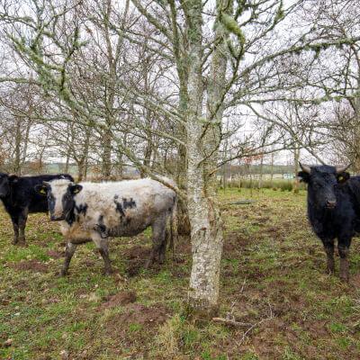 Organic Shetland Diced Silverside