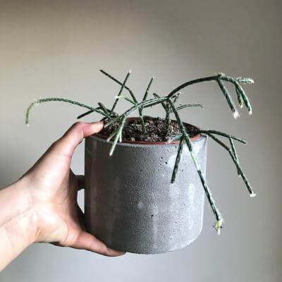 Rhipsalis Indoor Plant With Planter