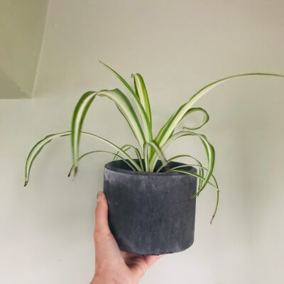 Spider Plant In Round Charcoal Pot