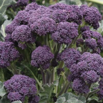 Purple Sprouting Broccoli 500G